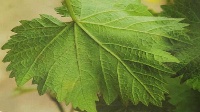 葡萄霜霉病危害叶片背面初期症状