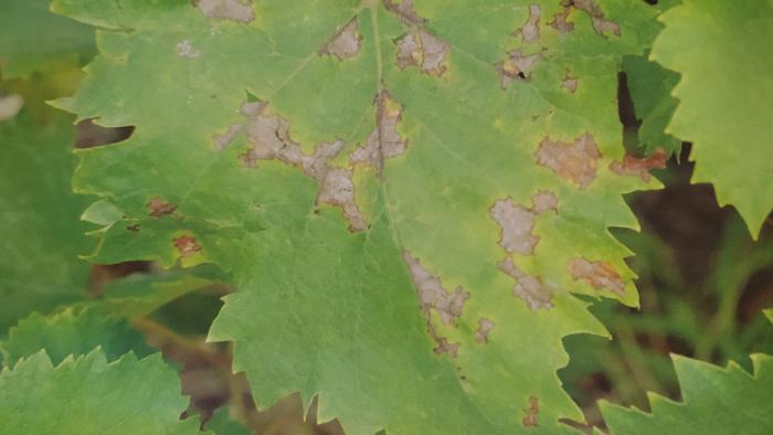 葡萄霜霉病危害叶片正面后期症状