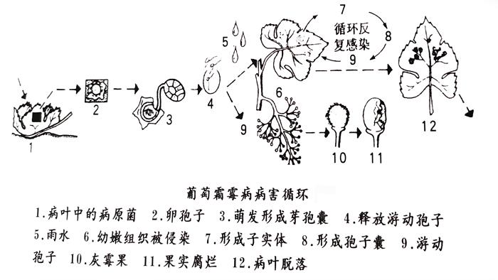 葡萄霜霉病病害循环
