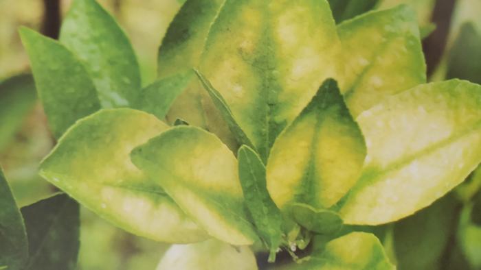 柑橘黄龙病为害叶片后期症状