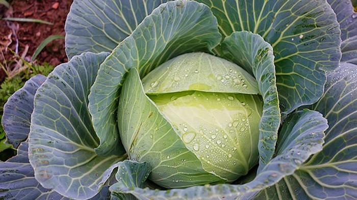 包菜根腐病是什么原因引起的?用什么杀菌剂能缓解根腐病?