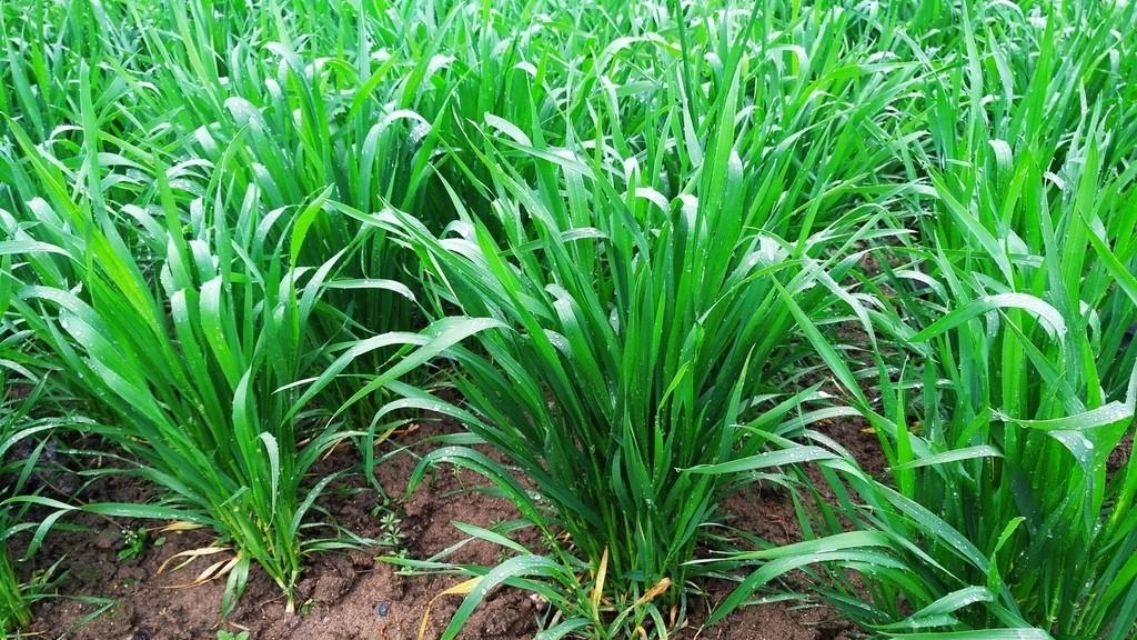 小麦种植增产套餐哪个时间段打?