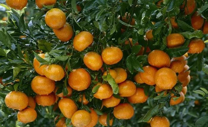 柑橘用了磷酸二氢钾会有什么作用?美尔森带您来了解