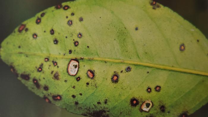 柑橘黄斑病为害叶片症状-褐色小圆斑型背面