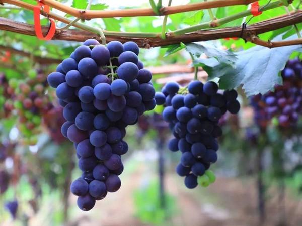 彪能色迷迷在葡萄上怎么用?用对了葡萄长势喜人 收获颇丰