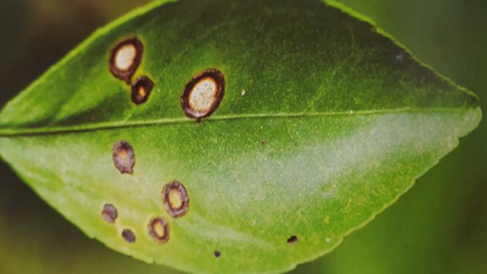 柑橘溃疡病为害叶片症状