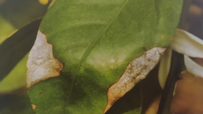 柑橘炭疽病为害叶片叶斑型叶缘受害症状