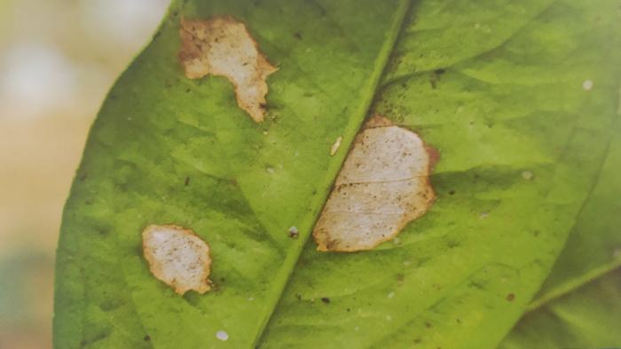 柑橘炭疽病为害叶片叶斑型叶背症状